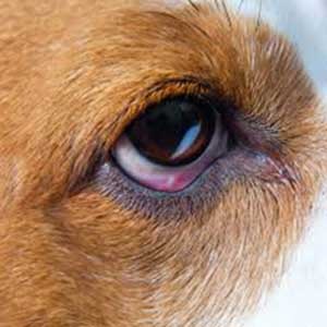 Dog eye Prolems