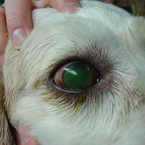 Dog Eye Problems | Eight Most Common Eye Problems of Dogs In 2017