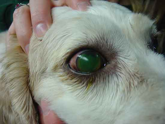 Dog eye problems