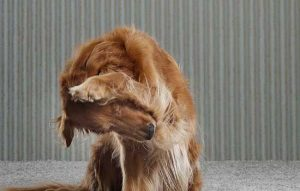 Most Serious Dog Ear Infection; Symptoms and Treatment