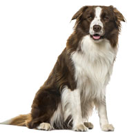 Border Collie, most trainable dog