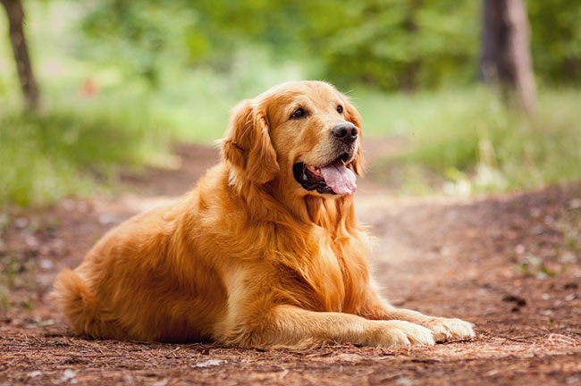 Golden Retriever - most trainable dogs in the world