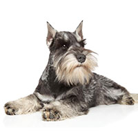 Miniature Schnauzer, intelligent dog