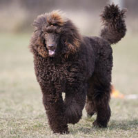 poodle most trainable dog