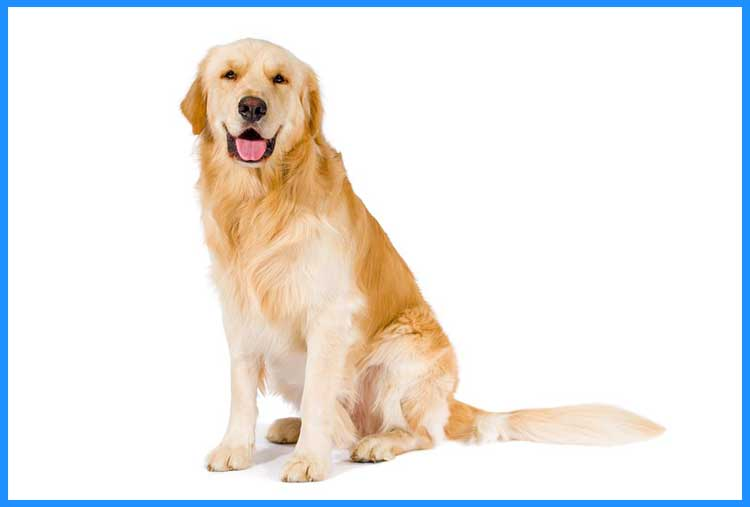 most trainable dogs - golden retriever