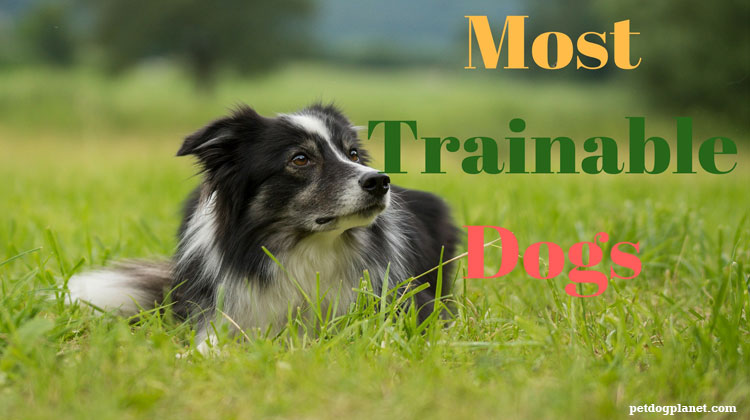20 Most Trainable Dogs – Pet Dog Planet