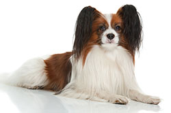 Papillion - most trainable dog