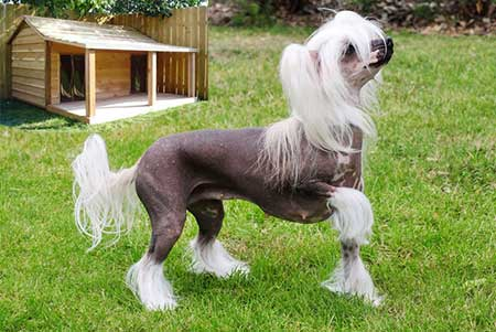 Chinese-Crested---sensitive-dog-breed