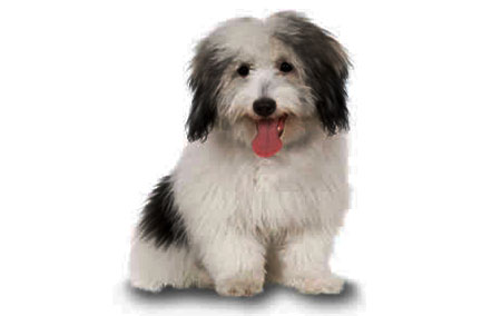 Coton-de-Tulear---sensitive-dog-breed