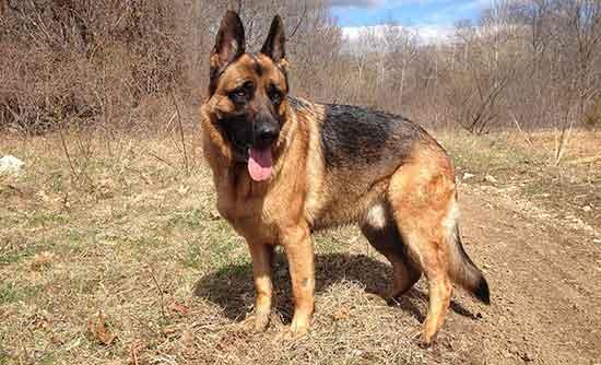 German Shepherd (GSD) Dog Breed Information – Pet Dog Planet