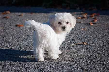 Maltese---sensitive-dog-breeds