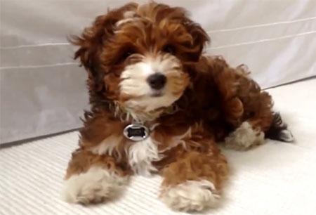 Yorkipoo-sensitive-dog