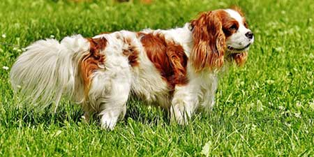 sensitive-dog-breed-Cavalier-King-Charles-Spaniel