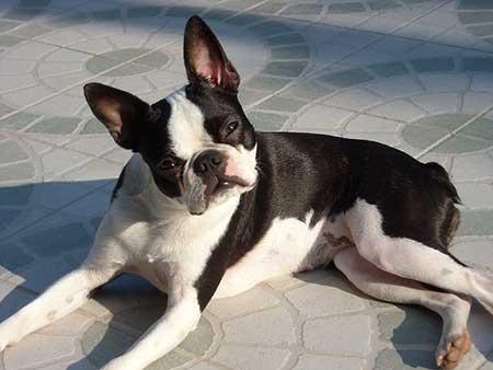sensitive-dog-breeds--Boston-Terrier