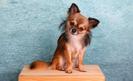 sensitive-dog-breeds-Chihuahua