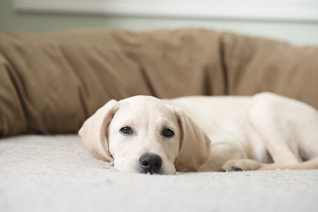 Best Memory Foam Dog Beds