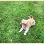 What Kind of Family Is Perfect for a Cockapoo?