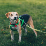 Dog Harnesses Vs. Dog Collars – Which One Should You Get