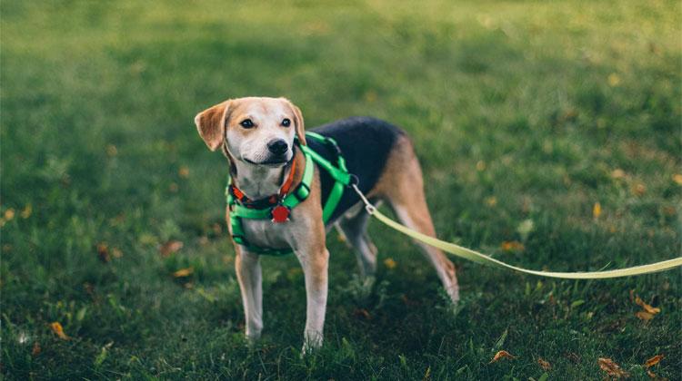 Dog Harnesses Vs. Dog Collars