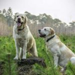 Labrador Retriever – Five Things You Should Know