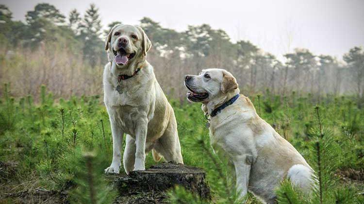 Labrador Retriever – Five Things You Should Know