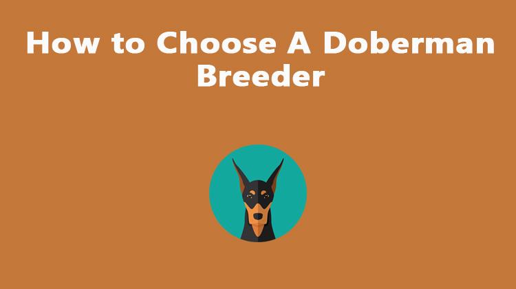 How to Choose A Doberman Breeder