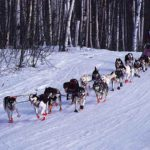 Northern sled dogs – man's best friend