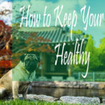 How to Keep Your Pug Healthy