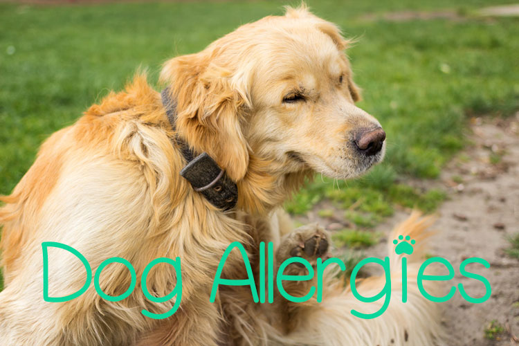 9 Most Common Dog Allergies: Symptoms and Treatment