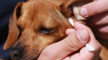 Dog Ear Infections: Choosing The Right Food To Avoid Problems