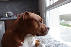 6 Tips to Take Good Care of a Disabled Pitbull
