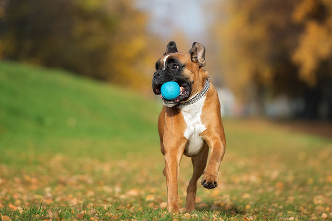 boxer dog playing