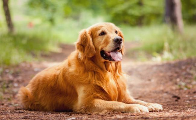 Family-Friendly Large Dog Breeds