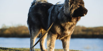 large breed dog breeds