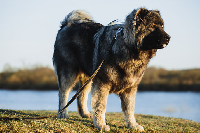 large breed dog breeds