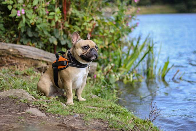 Best Dog Harness for French Bulldog