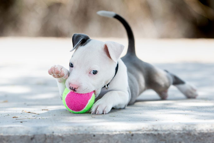 How to Train Your Pitbull Puppy