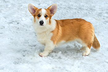 Cardigan Welsh Corgi short legged dog
