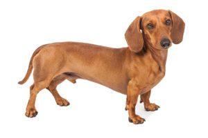 Dachshund - short legged dog