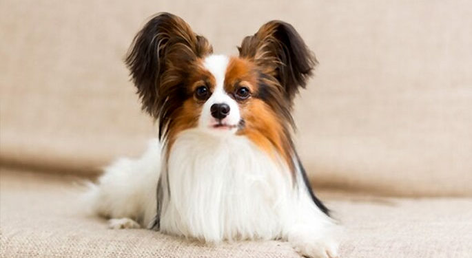 Papillon - a velcro dog