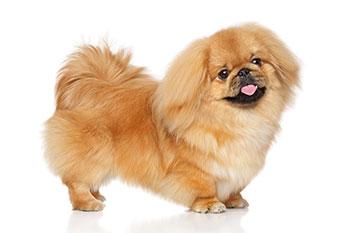 Pekingese - Short Legged Dog
