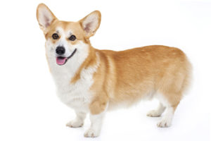Pembroke Welsh Corgi short legged dog