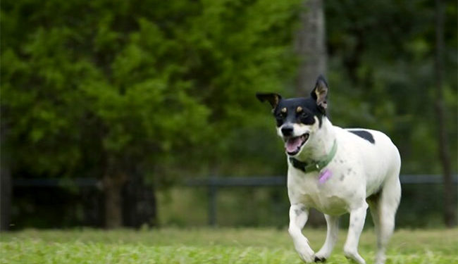 The Rat Terrier - a velcro dog