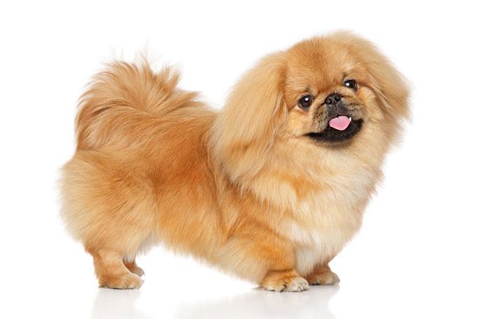 Short Legged Dog