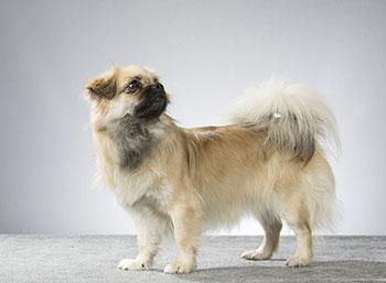 Tibetan Spaniel- short legged dog