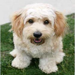 Cavachon Teddy Bear Dog