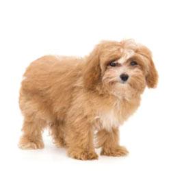 Maltipoo Teddy Bear Dog