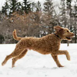 Miniature Goldendoodle Teddy Bear Dog