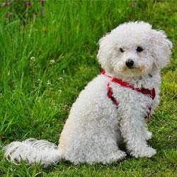 Pomchi Teddy Bear Dog