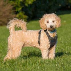 Poochon Teddy Bear Dog